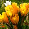 Крокус Великоквітковий Yellow
