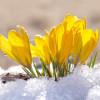 Крокус Крупноцветковый Yellow