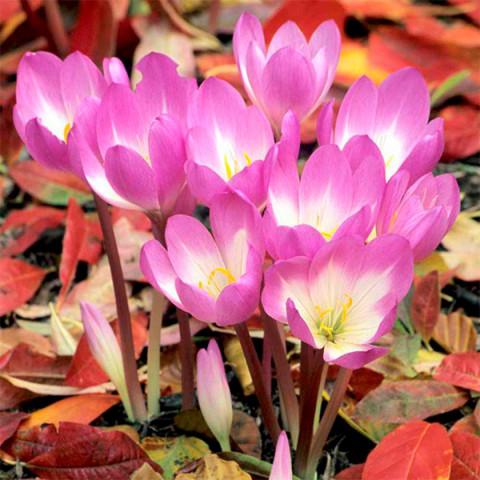 Крокус Крупноцветковый Zonatus