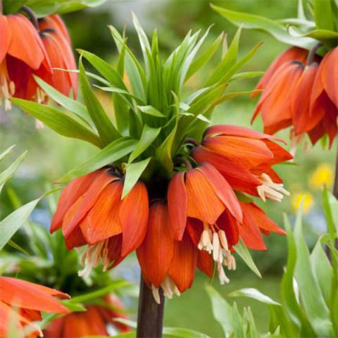 Фритиллярия Imperialis Orange Beauty