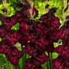 Гладиолус Крупноцветковый Black Jack (premium)