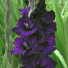 Гладиолус Крупноцветковый Black Velvet (premium)