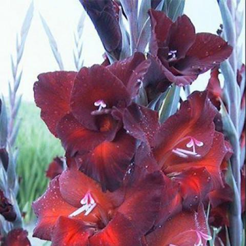 Гладиолус Крупноцветковый Brown Sugar (premium)