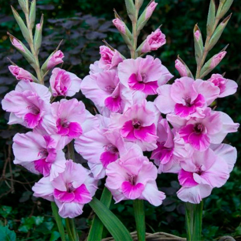 Гладиолус Крупноцветковый Alannah