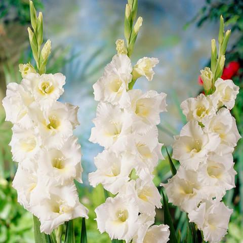 Гладиолус Крупноцветковый Bangladesh (premium)