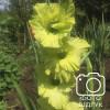 Гладиолус Крупноцветковый Evergreen (premium)