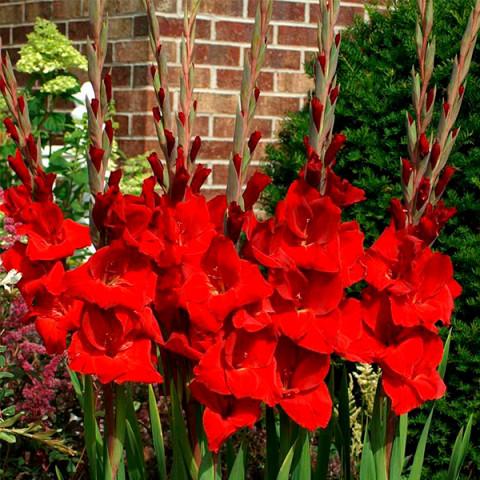 Гладиолус Fortuna Red