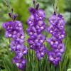 Гладиолус Крупноцветковый Hidden Treasure (premium)