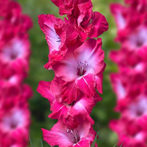 Гладиолус Крупноцветковый Jo Jo (premium)