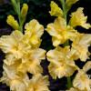 Гладиолус Крупноцветковый Morning Gold (premium)