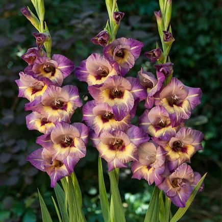 Гладиолус Крупноцветковый Qui Vive (premium)
