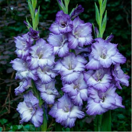 Гладиолус Крупноцветковый Triton (premium)