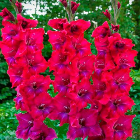 Гладиолус Крупноцветковый Union Jack