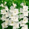 Гладиолус Крупноцветковый White Prosperity (premium)