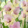 Гладиолус Крупноцветковый Mon Amour (premium)