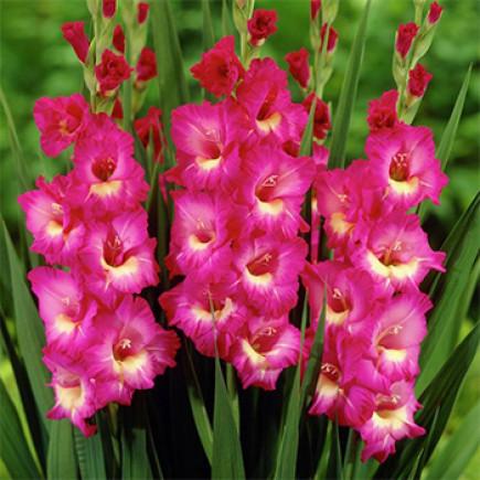 Гладиолус Крупноцветковый Windsong (premium)