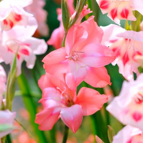 Гладиолус Низкорослый нанус Charming Beauty