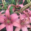 Лілія азіатська Morpho Pink