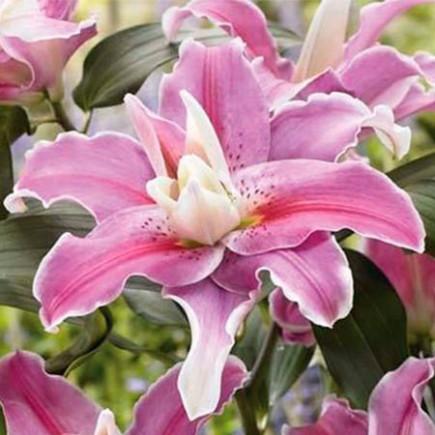 Лилия ориентальная махровая Lilac Cloud