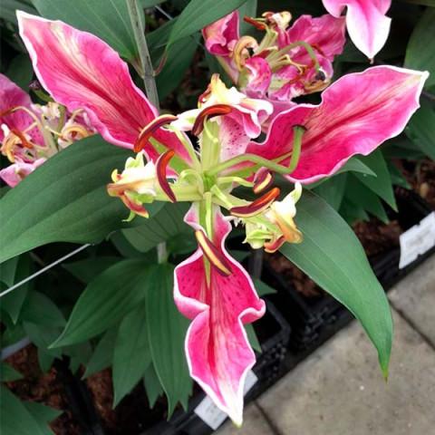 Лилия ориентальная Parrot Pink Cariba