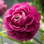 Лютики (Ranunculus)