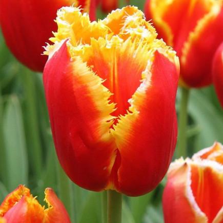 Тюльпан Бахромчатый Davenport  (спецпредложение)