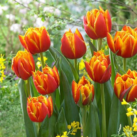 Тюльпан Махровый Crossfire (спецпредложение)