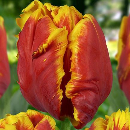 Тюльпан Попугайный Dee Jay Parrot (спецпредложение)