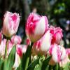 Тюльпан Бахромчатый Neglige (спецпредложение)