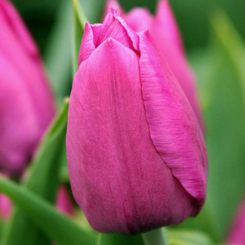 Тюльпан Триумф Sweet Rosy (спецпредложение)