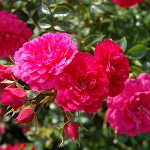 Роза махровая Книрпс (Knirps)