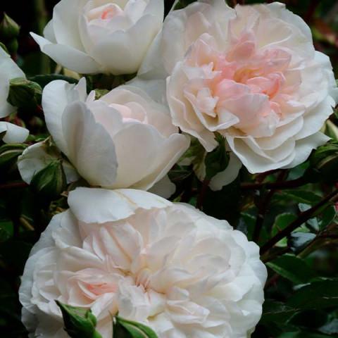 Роза махровая Свани (Swany)