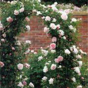 Троянди Англійські махрові (в'ються)