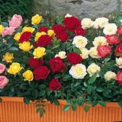 Розы Бордюрные