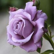 Троянди Чайно-Гібридні