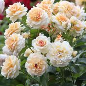 Троянди Флорібунда