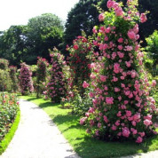 Троянди Паркові