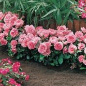 Троянди Патіо