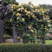 Троянди Плетисті