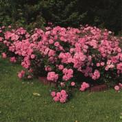 Троянди Грунтопокривні