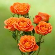 Троянди Спрей