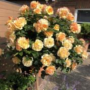 Троянди Штамбові (TANTAU)