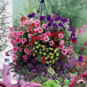 Цветы (Голландия)