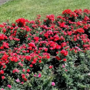 Розы Бордюрные в контейнере (горшок)