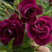 Розы Флорибунда в контейнере (горшок)