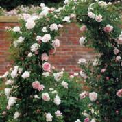 Розы Английские Плетистые в контейнере (горшок)