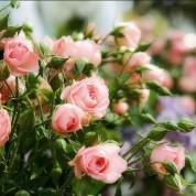 Розы Спрей в контейнере (горшок)