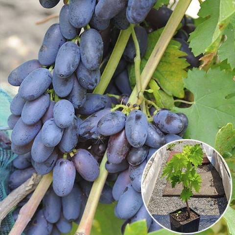 Виноград Академік (контейнер 2 л)