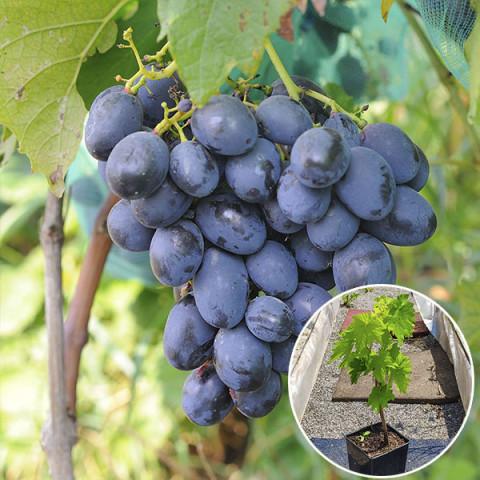 Виноград Черная Пантера (контейнер 2 л)