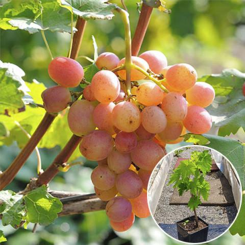 Виноград Гурман Лакомка (контейнер 2л)